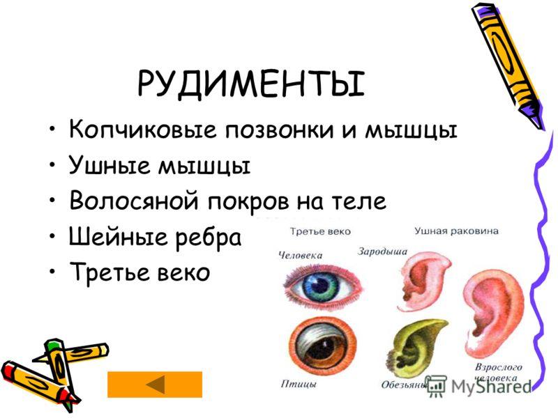 РУДИМЕНТЫ Копчиковые позвонки и мышцы Ушные мышцы Волосяной покров на теле Шейные ребра Третье веко