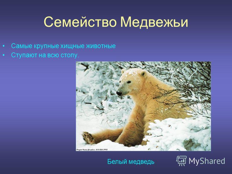 Семейство Медвежьи Самые крупные хищные животные Ступают на всю стопу. Белый медведь