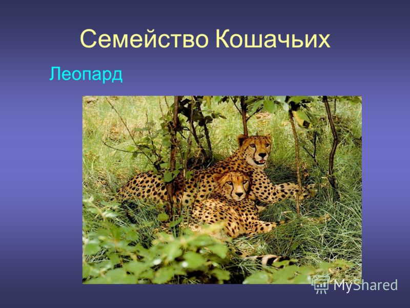 Семейство Кошачьих Леопард