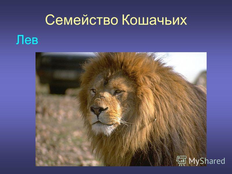Семейство Кошачьих Лев
