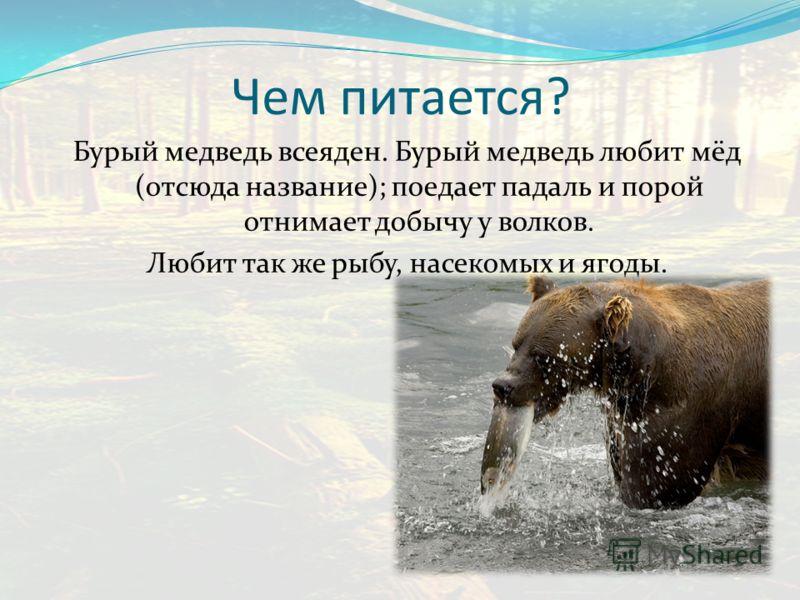 Чем питается? Бурый медведь всеяден. Бурый медведь любит мёд (отсюда название); поедает падаль и порой отнимает добычу у волков. Любит так же рыбу, насекомых и ягоды.