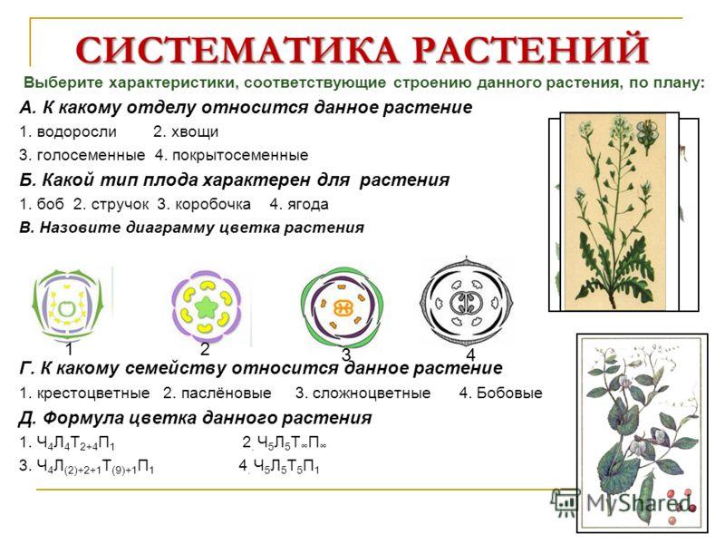 СИСТЕМАТИКА РАСТЕНИЙ Выберите характеристики, соответствующие строению данного растения, по плану: А. К какому отделу относится данное растение 1. водоросли 2. хвощи 3. голосеменные 4. покрытосеменные Б. Какой тип плода характерен для растения 1. боб