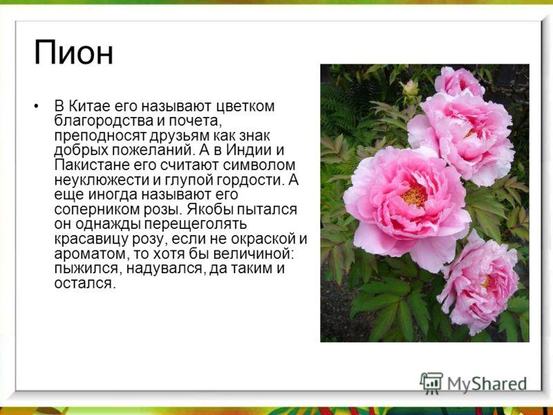 Пион В Китае его называют цветком благородства и почета, преподносят друзьям как знак добрых пожеланий. А в Индии и Пакистане его считают символом неуклюжести и глупой гордости. А еще иногда называют его соперником розы. Якобы пытался он однажды пере