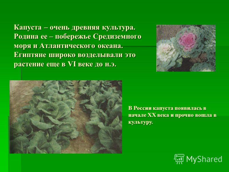Капуста – очень древняя культура. Родина ее – побережье Средиземного моря и Атлантического океана. Египтяне широко возделывали это растение еще в VI веке до н.э. В России капуста появилась в начале ХХ века и прочно вошла в культуру.