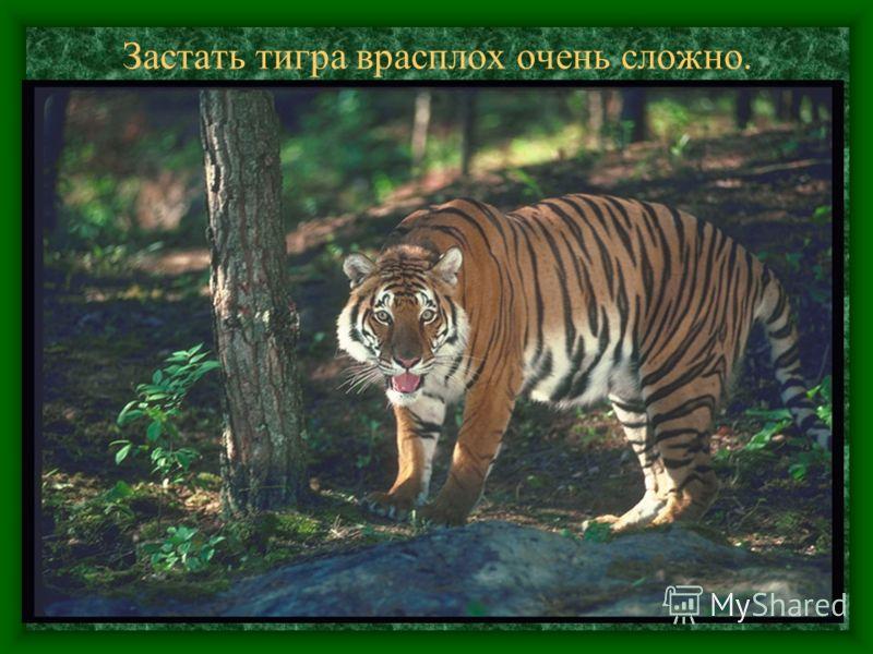 Застать тигра врасплох очень сложно.