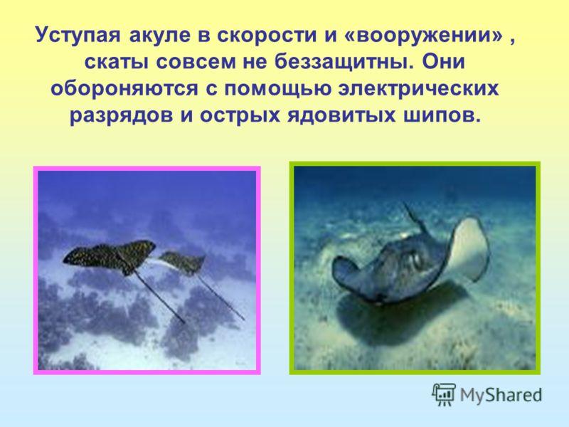 Уступая акуле в скорости и «вооружении», скаты совсем не беззащитны. Они обороняются с помощью электрических разрядов и острых ядовитых шипов.