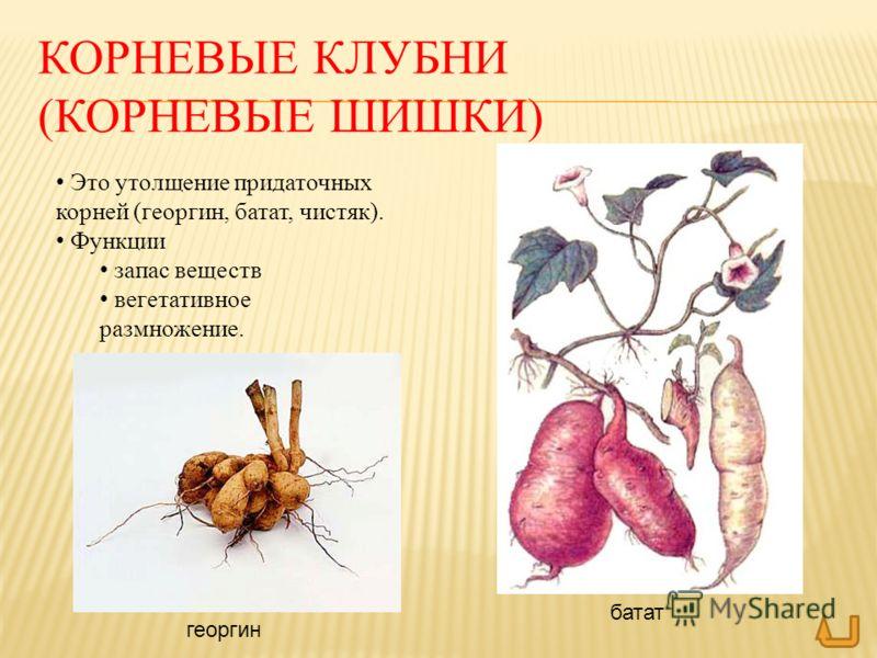 КОРНЕВЫЕ КЛУБНИ (КОРНЕВЫЕ ШИШКИ) Это утолщение придаточных корней (георгин, батат, чистяк). Функции запас веществ вегетативное размножение. батат георгин