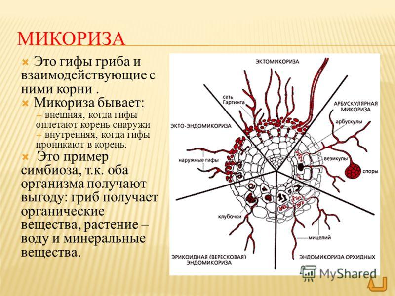 МИКОРИЗА Это гифы гриба и взаимодействующие с ними корни. Микориза бывает: внешняя, когда гифы оплетают корень снаружи внутренняя, когда гифы проникают в корень. Это пример симбиоза, т.к. оба организма получают выгоду: гриб получает органические веще