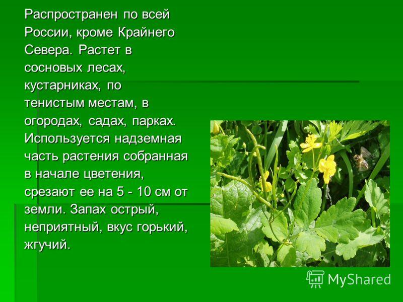 Распространен по всей России, кроме Крайнего Севера. Растет в сосновых лесах, кустарниках, по тенистым местам, в огородах, садах, парках. Используется надземная часть растения собранная в начале цветения, срезают ее на 5 - 10 см от земли. Запах остры