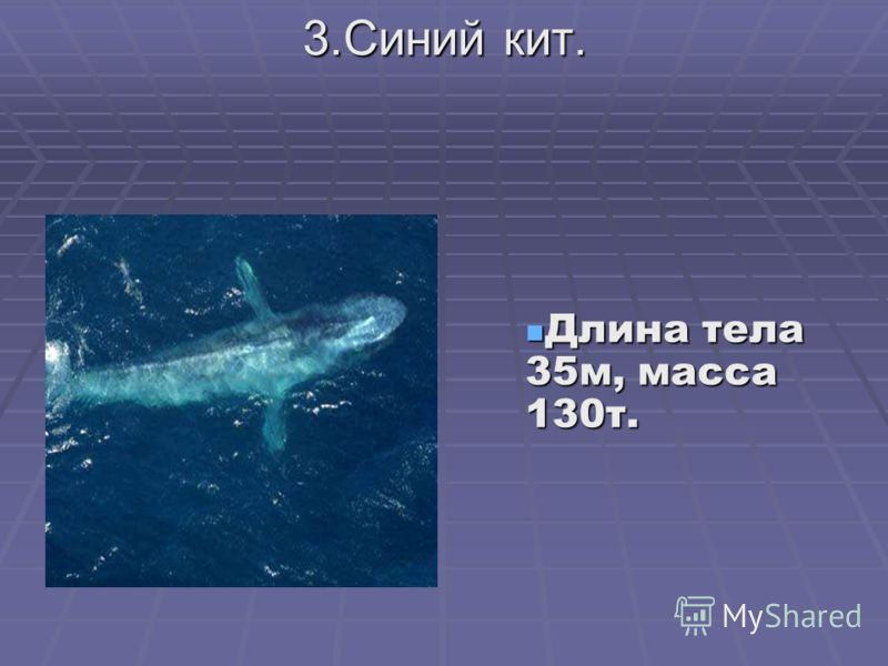 3.Синий кит. Длина тела 35м, масса 130т. Длина тела 35м, масса 130т.