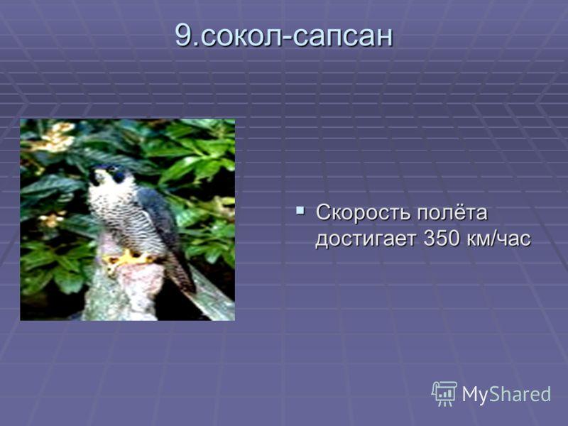 9.сокол-сапсан Скорость полёта достигает 350 км/час Скорость полёта достигает 350 км/час