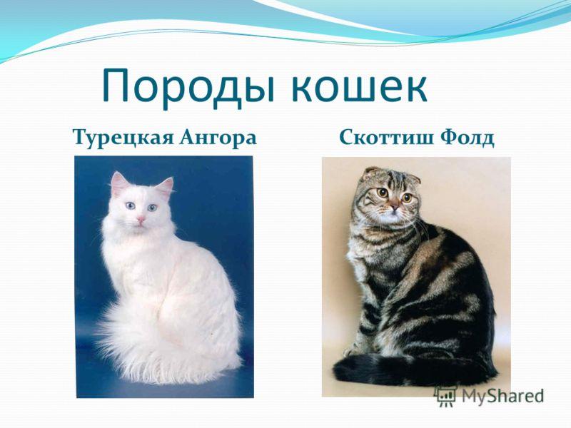 Породы кошек Турецкая Ангора Скоттиш Фолд