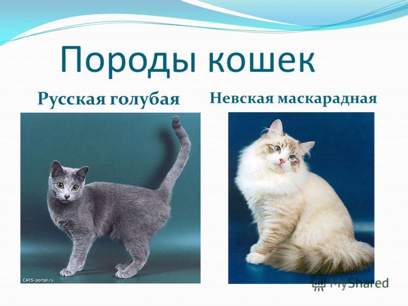 Породы кошек Русская голубая Невская маскарадная