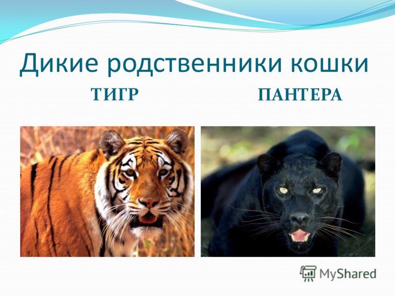 Дикие родственники кошки ТИГР ПАНТЕРА