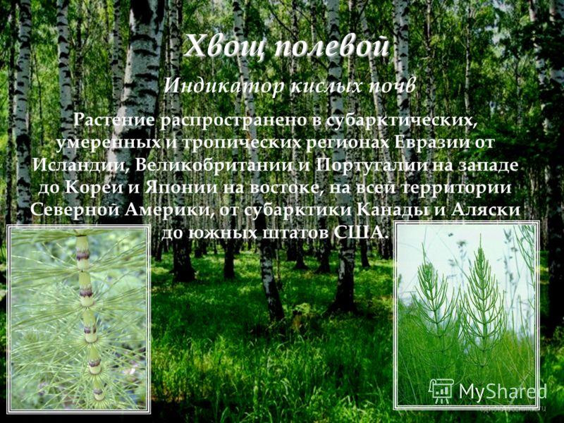 Хвощ полевой Растение распространено в субарктических, умеренных и тропических регионах Евразии от Исландии, Великобритании и Португалии на западе до Кореи и Японии на востоке, на всей территории Северной Америки, от субарктики Канады и Аляски до южн