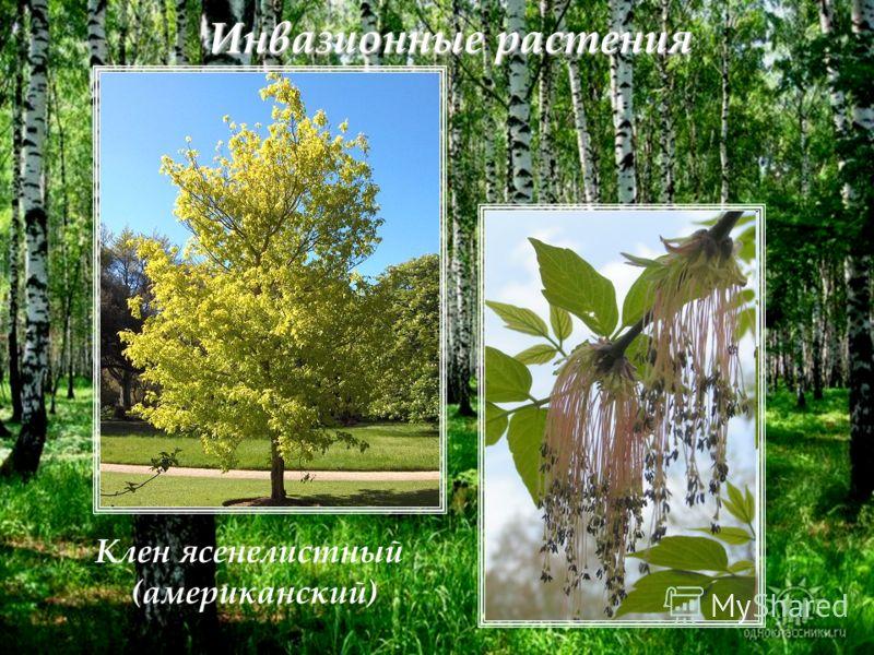Инвазионные растения Клен ясенелистный (американский)
