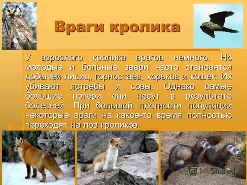 Враги кролика У взрослого кролика врагов немного. Но молодые и больные звери часто становятся добычей лисиц, горностаев, хорьков и кошек. Их убивают ястребы и совы. Однако самые большие потери они несут в результате болезней. При большой плотности по