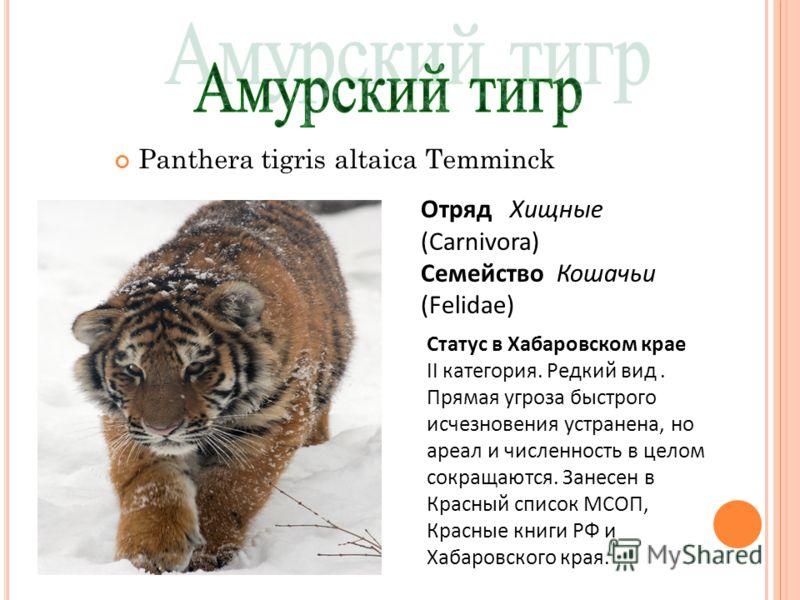 Panthera tigris altaica Temminck Отряд Хищные (Carnivora) Семейство Кошачьи (Felidae) Статус в Хабаровском крае II категория. Редкий вид. Прямая угроза быстрого исчезновения устранена, но ареал и численность в целом сокращаются. Занесен в Красный спи