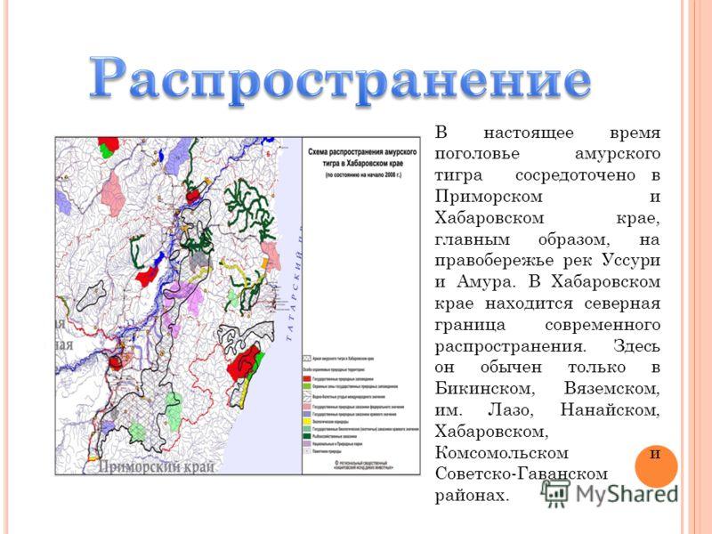 В настоящее время поголовье амурского тигра сосредоточено в Приморском и Хабаровском крае, главным образом, на правобережье рек Уссури и Амура. В Хабаровском крае находится северная граница современного распространения. Здесь он обычен только в Бикин