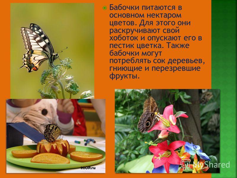 Бабочки питаются в основном нектаром цветов. Для этого они раскручивают свой хоботок и опускают его в пестик цветка. Также бабочки могут потреблять сок деревьев, гниющие и перезревшие фрукты.