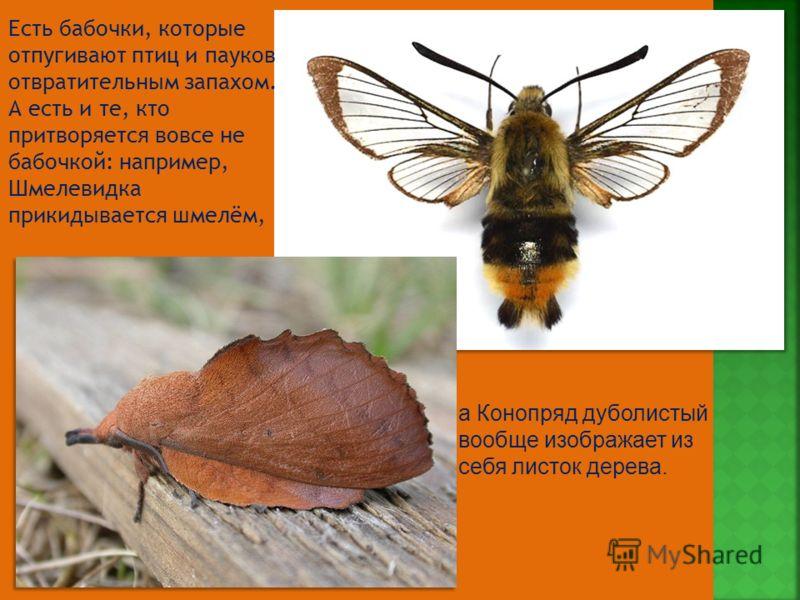Есть бабочки, которые отпугивают птиц и пауков отвратительным запахом. А есть и те, кто притворяется вовсе не бабочкой: например, Шмелевидка прикидывается шмелём, а Конопряд дуболистый вообще изображает из себя листок дерева.