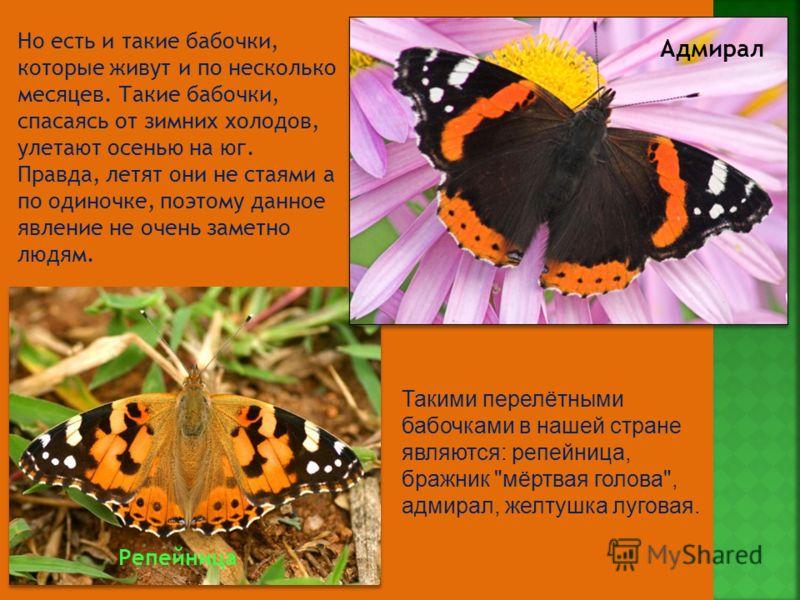 Но есть и такие бабочки, которые живут и по несколько месяцев. Такие бабочки, спасаясь от зимних холодов, улетают осенью на юг. Правда, летят они не стаями а по одиночке, поэтому данное явление не очень заметно людям. Такими перелётными бабочками в н