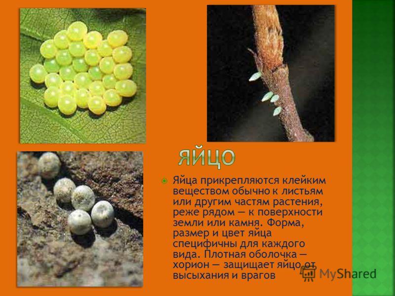 Яйца прикрепляются клейким веществом обычно к листьям или другим частям растения, реже рядом к поверхности земли или камня. Форма, размер и цвет яйца специфичны для каждого вида. Плотная оболочка хорион защищает яйцо от высыхания и врагов