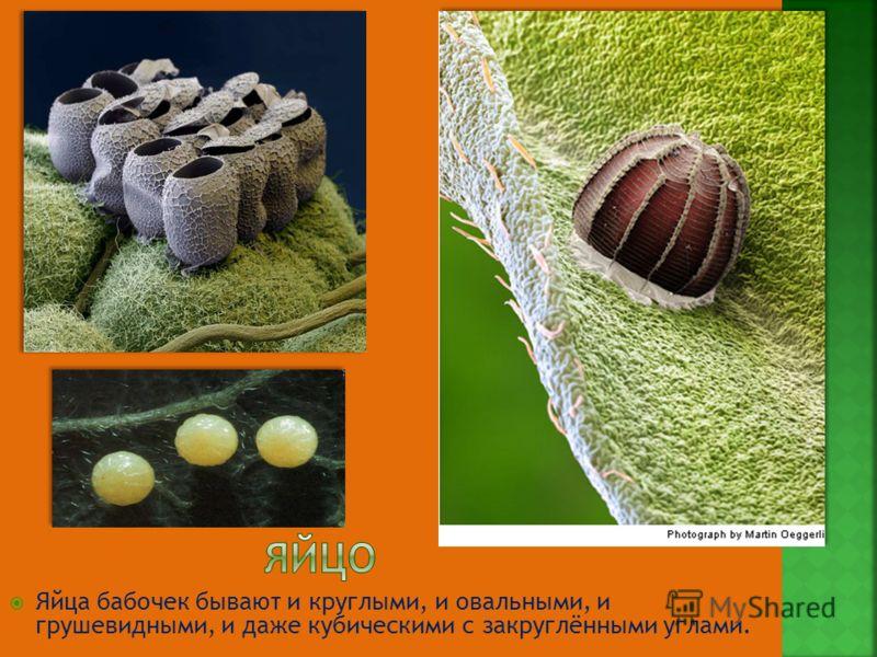 Яйца бабочек бывают и круглыми, и овальными, и грушевидными, и даже кубическими с закруглёнными углами.