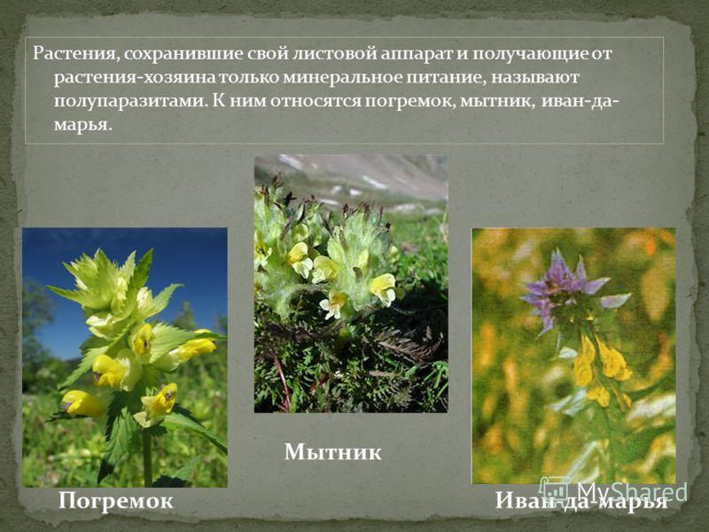 Растения, сохранившие свой листовой аппарат и получающие от растения-хозяина только минеральное питание, называют полупаразитами. К ним относятся погремок, мытник, иван-да- марья. Погремок Мытник Иван-да-марья
