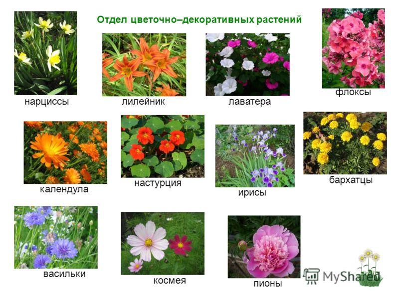 Отдел цветочно–декоративных растений пионыирисыкосмеявасильки нарциссы календулабархатцылилейник флоксы лаватеранастурция