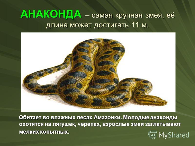 АНАКОНДА – самая крупная змея, её длина может достигать 11 м. Обитает во влажных лесах Амазонки. Молодые анаконды охотятся на лягушек, черепах, взрослые змеи заглатывают мелких копытных. Обитает во влажных лесах Амазонки. Молодые анаконды охотятся на