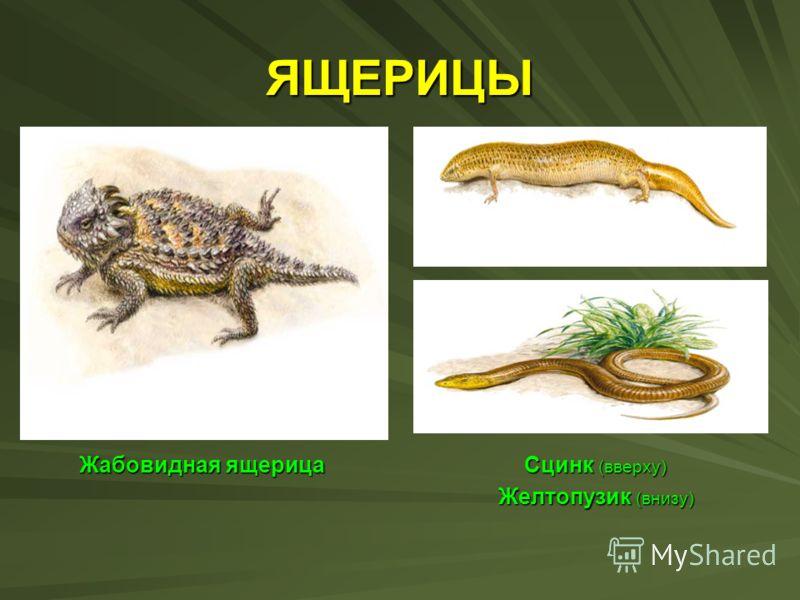 ЯЩЕРИЦЫ ЯЩЕРИЦЫ Жабовидная ящерица Сцинк (вверху) Жабовидная ящерица Сцинк (вверху) Желтопузик (внизу) Желтопузик (внизу)