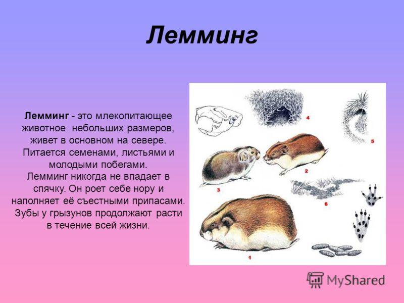 Лемминг Лемминг - это млекопитающее животное небольших размеров, живет в основном на севере. Питается семенами, листьями и молодыми побегами. Лемминг никогда не впадает в спячку. Он роет себе нору и наполняет её съестными припасами. Зубы у грызунов п