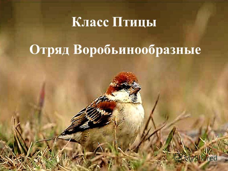 Класс Птицы Отряд Воробьинообразные