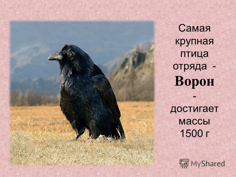 Самая крупная птица отряда - Ворон - достигает массы 1500 г