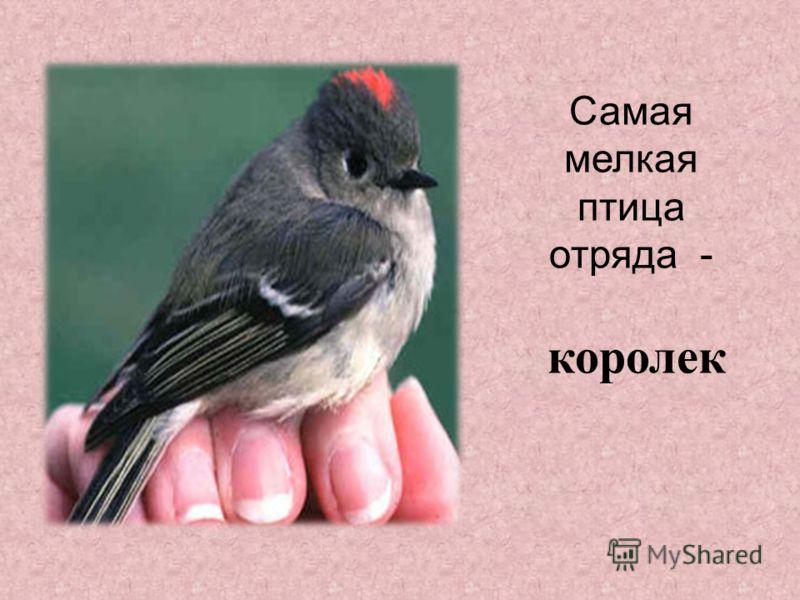 Самая мелкая птица отряда - королек