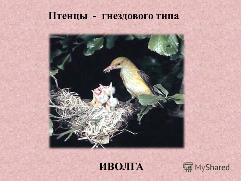 Птенцы - гнездового типа ИВОЛГА