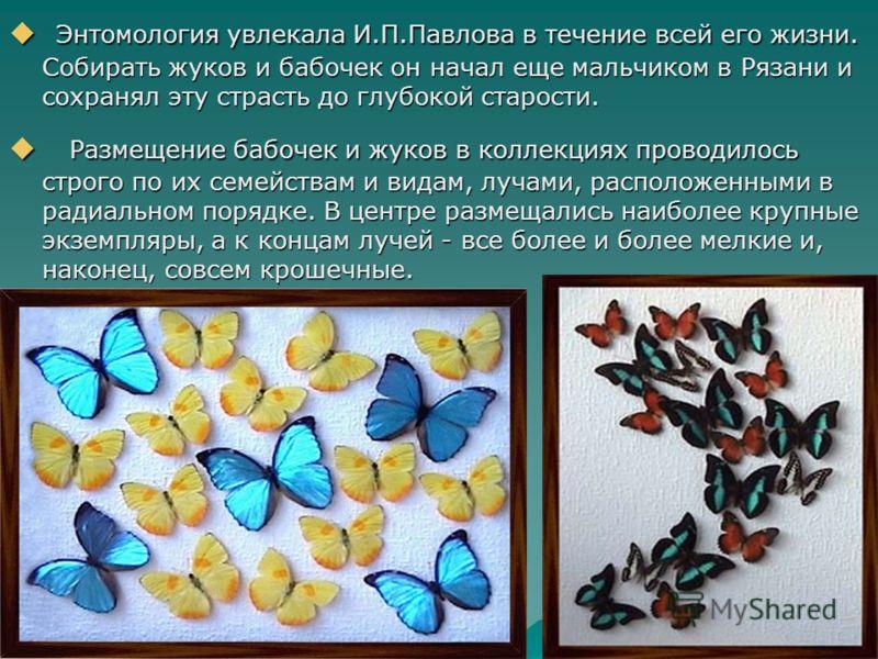 Энтомология увлекала И.П.Павлова в течение всей его жизни. Собирать жуков и бабочек он начал еще мальчиком в Рязани и сохранял эту страсть до глубокой старости. Энтомология увлекала И.П.Павлова в течение всей его жизни. Собирать жуков и бабочек он на