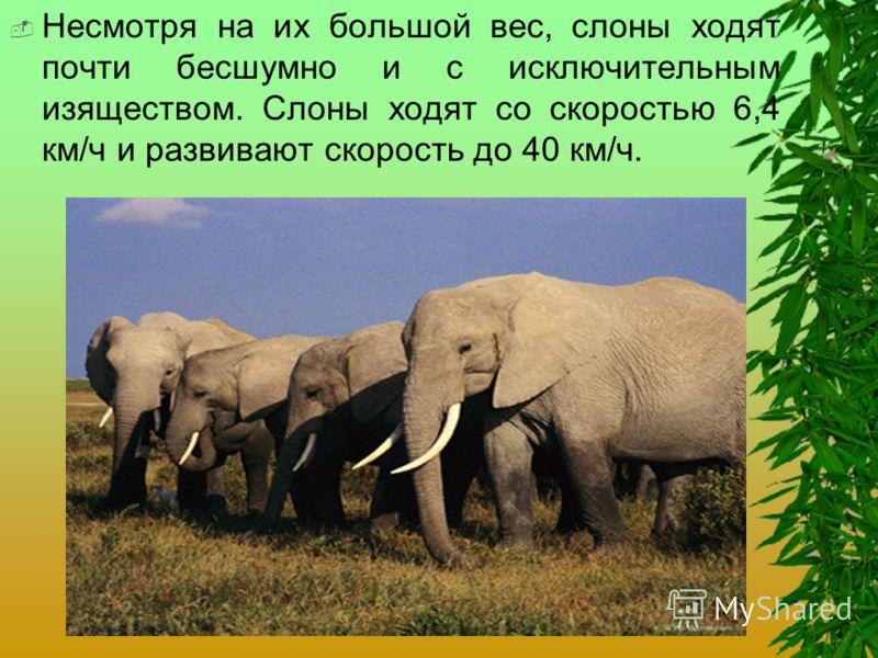 Несмотря на их большой вес, слоны ходят почти бесшумно и с исключительным изяществом. Слоны ходят со скоростью 6,4 км/ч и развивают скорость до 40 км/ч.
