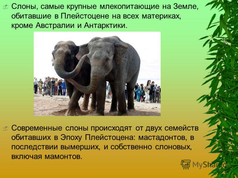 Слоны, самые крупные млекопитающие на Земле, обитавшие в Плейстоцене на всех материках, кроме Австралии и Антарктики. Современные слоны происходят от двух семейств обитавших в Эпоху Плейстоцена: мастадонтов, в последствии вымерших, и собственно слоно