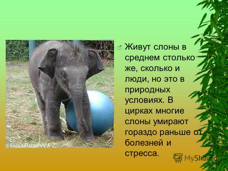 Живут слоны в среднем столько же, сколько и люди, но это в природных условиях. В цирках многие слоны умирают гораздо раньше от болезней и стресса.