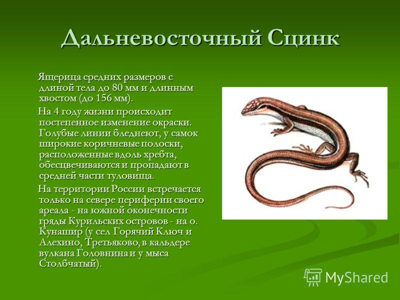 Дальневосточный Сцинк Ящерица средних размеров с длиной тела до 80 мм и длинным хвостом (до 156 мм). Ящерица средних размеров с длиной тела до 80 мм и длинным хвостом (до 156 мм). На 4 году жизни происходит постепенное изменение окраски. Голубые лини