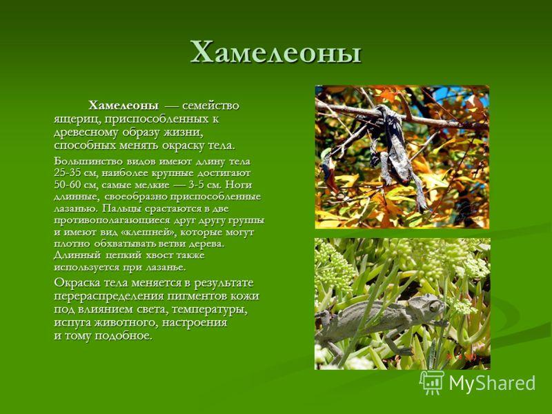 Хамелеоны Хамелеоны семейство ящериц, приспособленных к древесному образу жизни, способных менять окраску тела. Хамелеоны семейство ящериц, приспособленных к древесному образу жизни, способных менять окраску тела. Большинство видов имеют длину тела 2