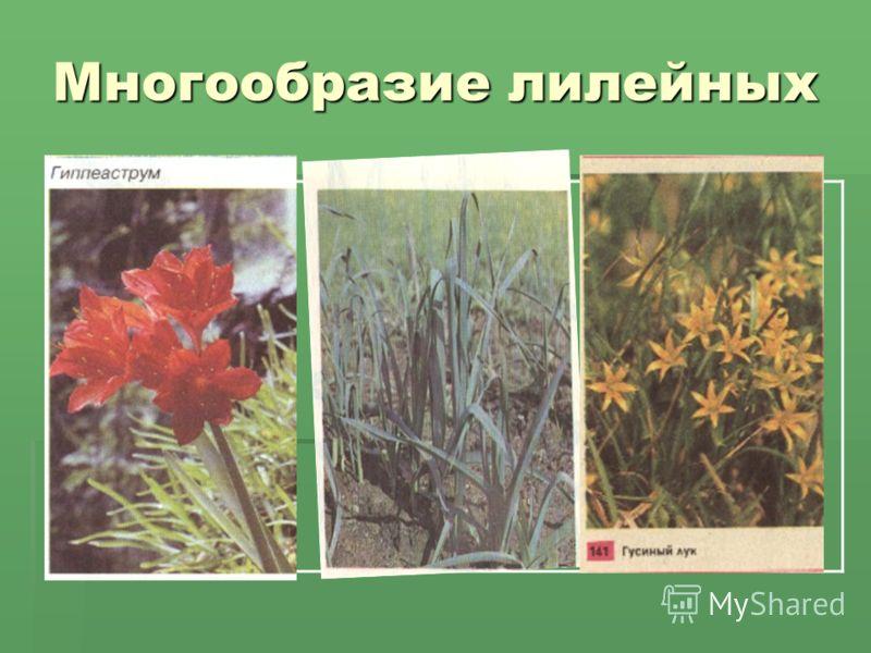 Многообразие лилейных