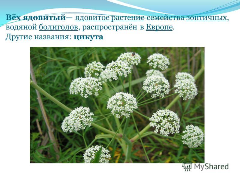 Вёх ядовитый ядовитое растение семейства зонтичных, водяной болиголов, распространён в Европе. Другие названия: цикута