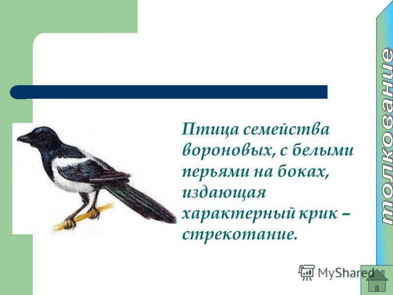 Птица семейства вороновых, с белыми перьями на боках, издающая характерный крик – стрекотание.