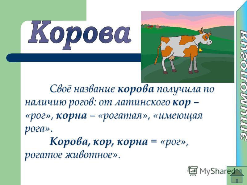 Своё название корова получила по наличию рогов: от латинского кор – «рог», корна – «рогатая», «имеющая рога». Корова, кор, корна = «рог», рогатое животное».