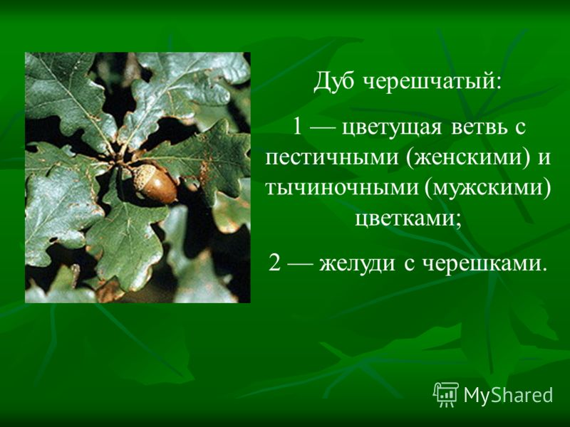 Дуб черешчатый: 1 цветущая ветвь с пестичными (женскими) и тычиночными (мужскими) цветками; 2 желуди с черешками.