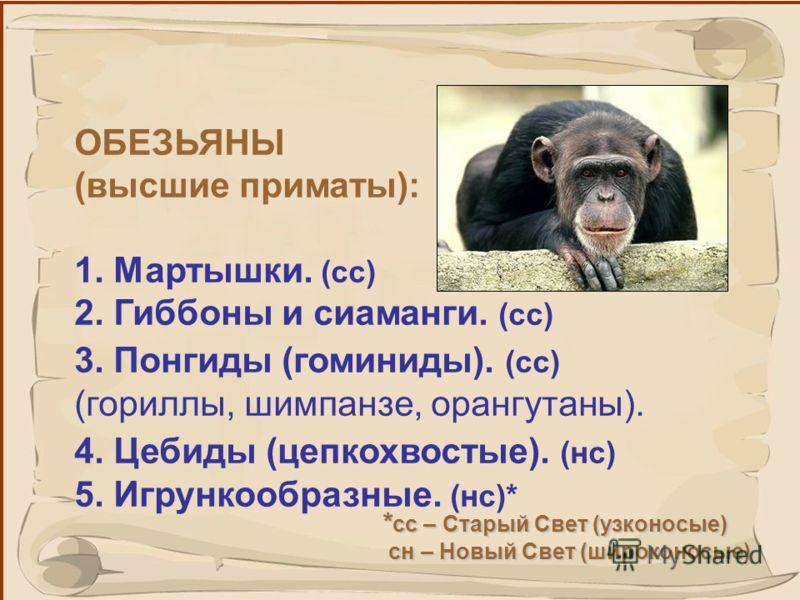 26 Одно из главных отличий между ними – это форма носа. Узконосые обезьяны; ноздри сближены, удлинены, обращены вниз. Широконосые обезьяны; круглые ноздри широко разделены между собой, обращены наружу.