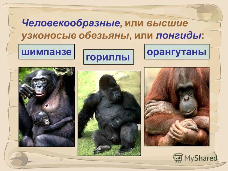33 Павианы – переходное звено от низших обезьян к человекообразным… анубис гамадрил
